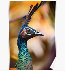 Perfectly poised and proud Peacock with plumage aplenty posing for pictures in profile Poster