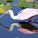 Roseate spoonbill  with reflection by Anthony Goldman