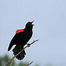 Red-winged Blackbird by D R Moore