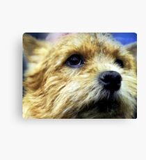 Cute Cairn Terrier  Canvas Print