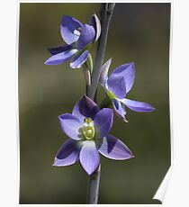 Thelymitra grandiflora Poster