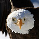 Bald Eagle by Alain Turgeon