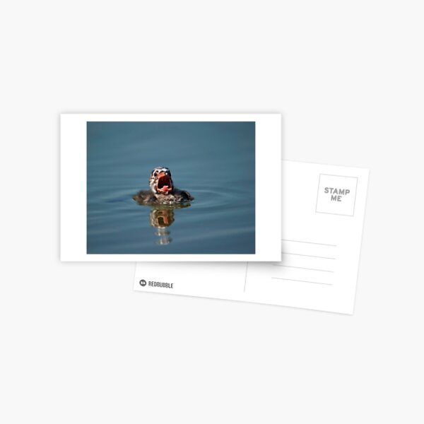 Little Cry Baby Grebe Postcard