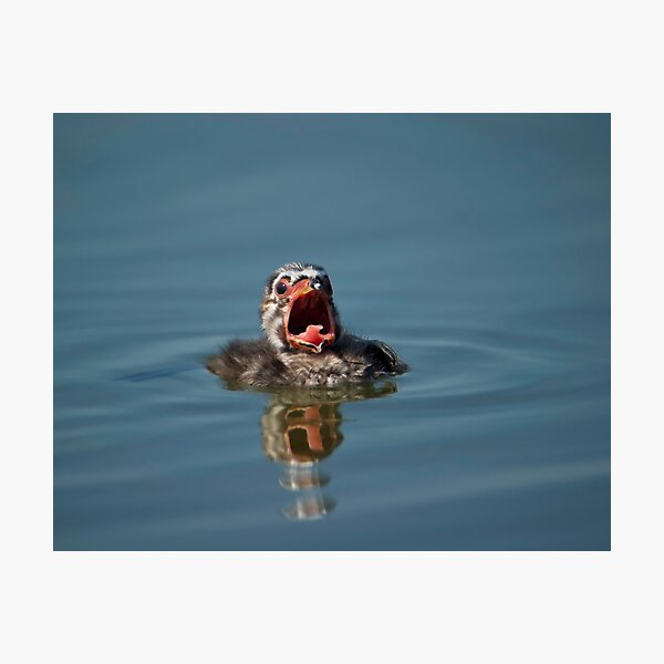 Little Cry Baby Grebe Photographic Print