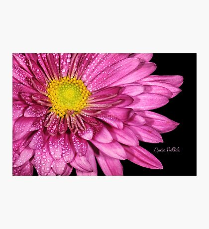 Droplets on a Pink Dahlia Photographic Print
