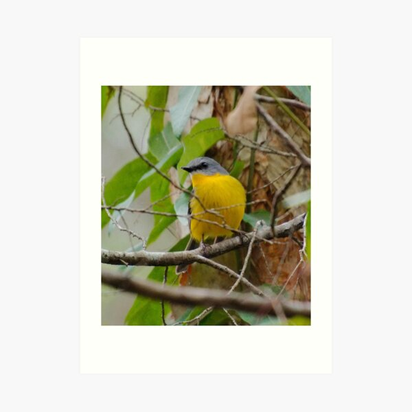 SC ~ WO ~ ROBIN ~ Eastern Yellow Robin by David Irwin 240919 Art Print