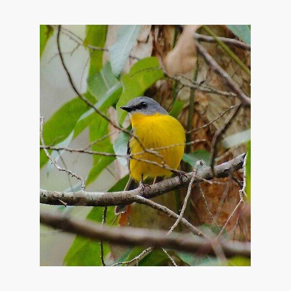 SC ~ WO ~ ROBIN ~ Eastern Yellow Robin PvNXEVLV by David Irwin 240919 Photographic Print