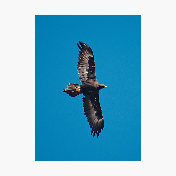 RAPTOR ~ Wedge-tailed Eagle by David Irwin 240919 Photographic Print