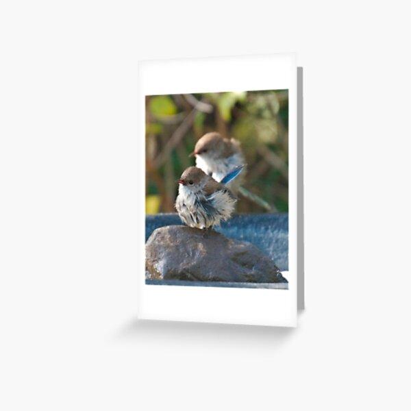 WREN ~ Superb Fairy-wren LiA3z6sF by David Irwin 240919 Greeting Card