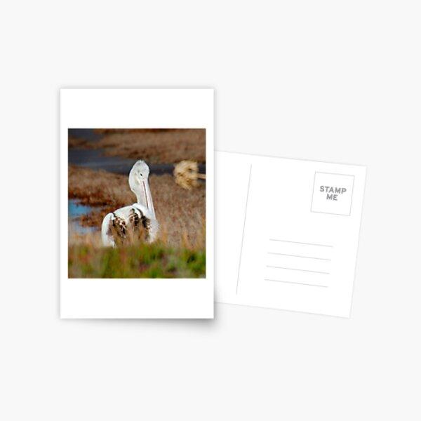 MARINE BIRD ~ Australian Pelican KWRPDPJJ Juvenile by David Irwin 240919 Postcard
