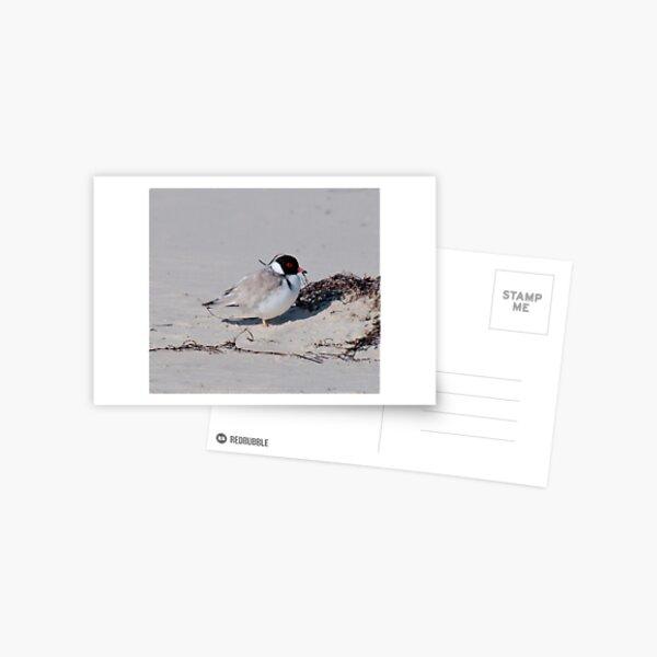 SHOREBIRD ~ Hooded Plover QMWK6Mg8 by David Irwin 240919 Postcard