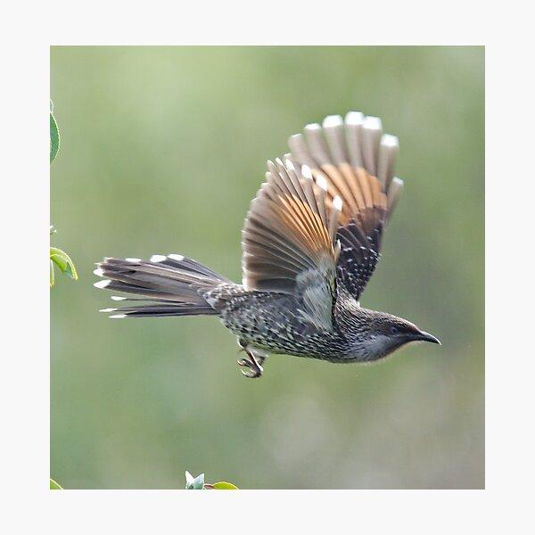 HONEYEATER ~ Little (Brush) Wattlebird by David Irwin 240919 Photographic Print