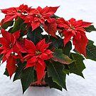Pointsettia In The Snow by Lynne Morris