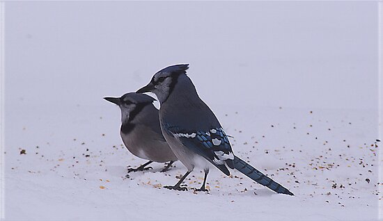 Two Blue Jays by swaby