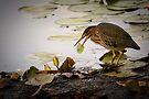 Crowned Night Heron (Hammond Pond, MA) -2 by LudaNayvelt