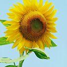 SunFlower by nastruck