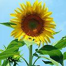 a SunFlower by nastruck