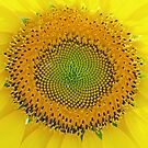 a SunFlower up close by nastruck