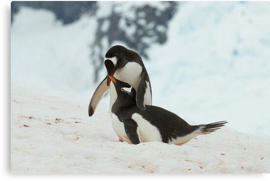 Penguin cuddles by David Burren