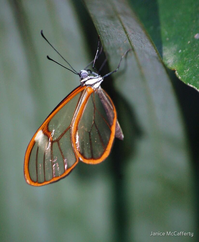 Glasswing by Janice McCafferty