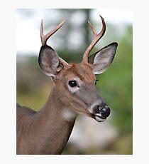 Maine Buck Photographic Print