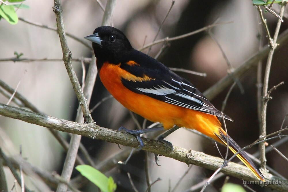 Male Baltimore Oriole by hummingbirds