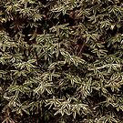 Sasa Bamboo by Skye Hohmann