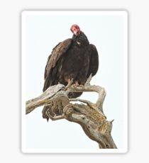 Curious Turkey Vulture Sticker