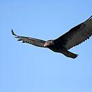 Florida Soaring Vulture by Deborah  Benoit