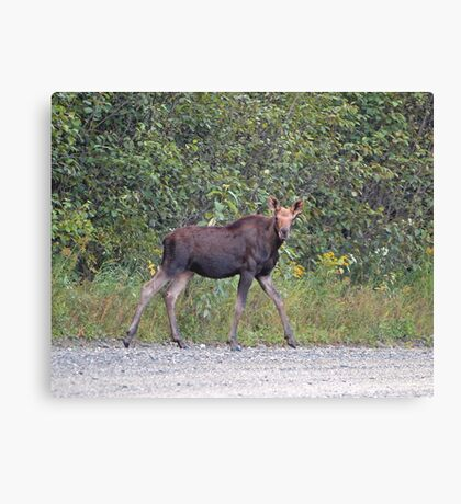 Maine Moose Canvas Print