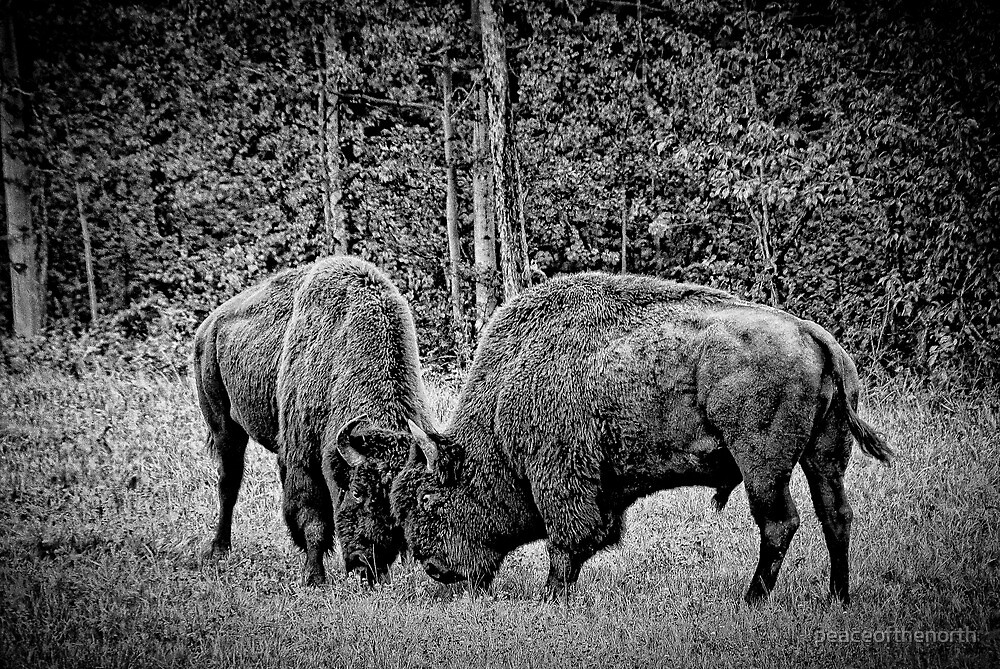 Bison by peaceofthenorth