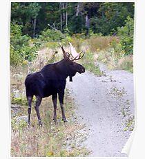 Bull Maine Moose Poster