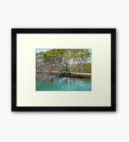 Mangrove Tree at Narooma Framed Print