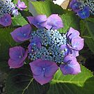 Lace Cap Hydrangea Blossom in Dappled Light by Kathryn Jones