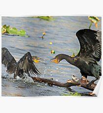 Squabbling cormorants Poster