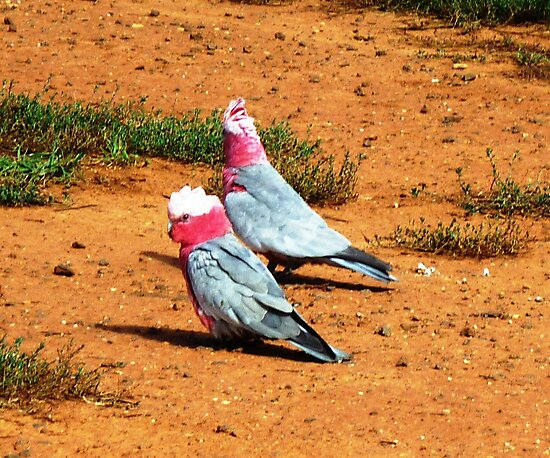 Two old Galahs living at the Park by EdsMum
