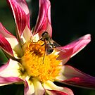Pink Pollination by AndrewCaucutt