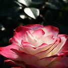 Spokane Rose Garden #1 by AndrewCaucutt