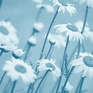 Daisies in Blue #2 by Laurie Minor