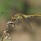Dragonfly by Ulianka