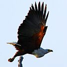 african fish eagle soon after lift off by Anthony Goldman