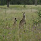 Kangaroos in Hunter Valley by scoobysue7
