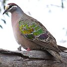 Bronzewing Pigeon by Rick Playle