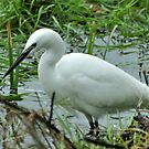 LITTLE EGRET by Russell Couch