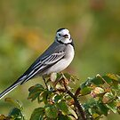 White Wagtail by Willem Hoekstra
