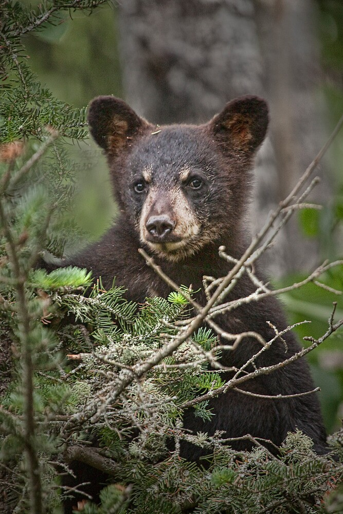 Black Bear Cub 0302 by Randall Nyhof