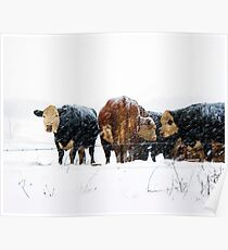 Cattle in Snowstorm 078 Poster