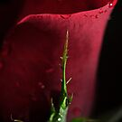 Rose 2 by Sandra Guzman