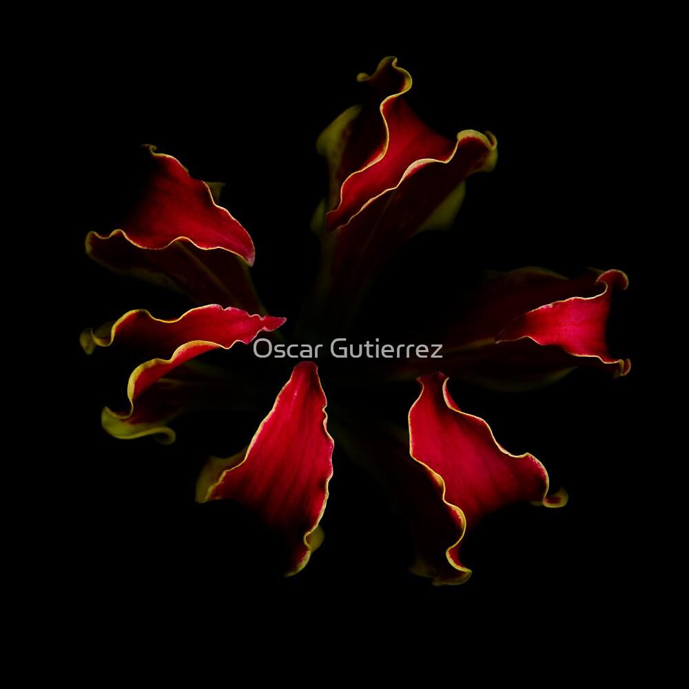 Glory Lily by Oscar Gutierrez