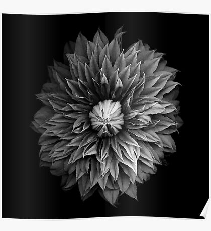 Monochrome Clematis Blossom Poster